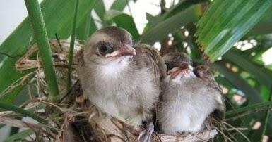 4 Cara Memilih Burung Trucukan Yang Bagus Paling Akurat Yang Sudah Terbukti Kicau Mania