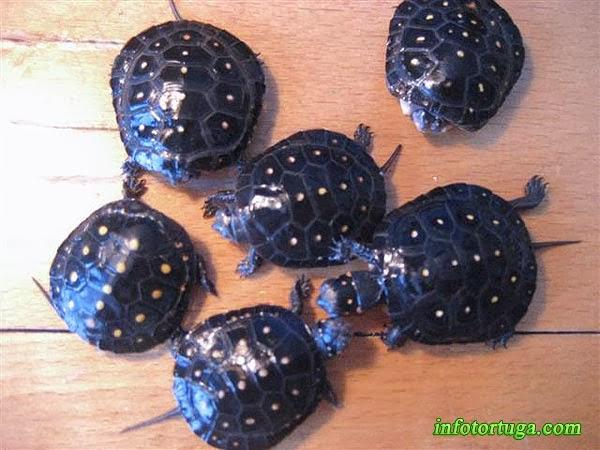 Crías de Clemmys guttata