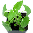 Spotlight on Herbs: Catnip