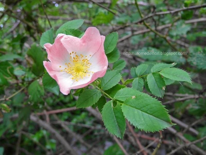 http://ilnomedeifiori.blogspot.it/2014/05/rosa-selvatica-bianca-bacche-rosse.html