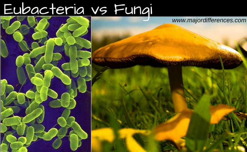 10 Differences between Eubacteria and Fungi (Eubacteria vs Fungus)