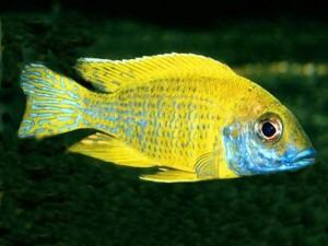 Ciklet balıklarının akvaryumda bakımı