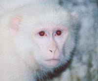 Cara Mendapatkan Ajian Khodam kera / ketek / monyet putih hanoman