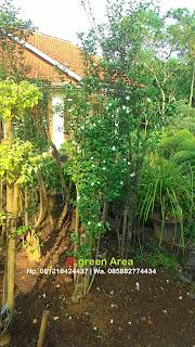petani menjual pohonbonsai melati yasmin dengan harga paling murah namun kualitas terjamin, berpengalaman serta bergaransi