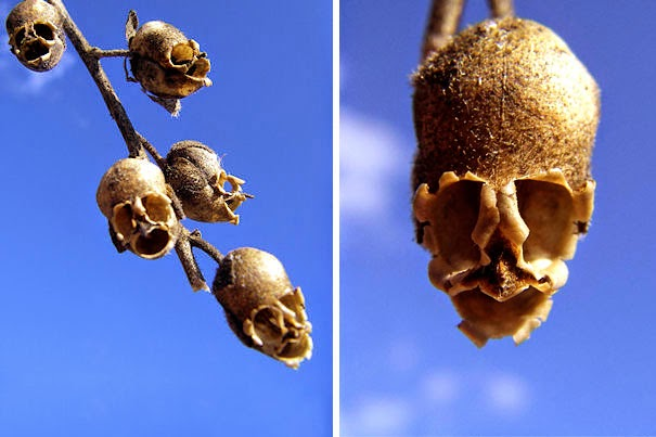 Snap Dragon Seed Pod (Antirrhinum) - 17 Flowers That Look Like Something Else
