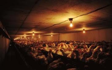 Pencahayaan untuk meningkatkan produksi telur