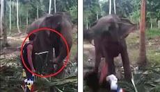 Coba Menyentuh Belalai, Turis 'Ditampar' Gajah Hingga Tersungkur