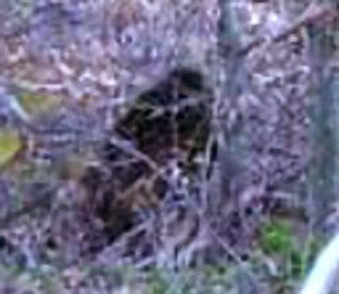 Bigfoot on Game Cam
