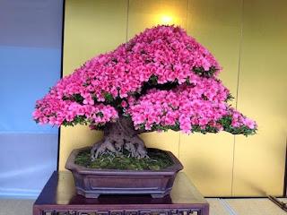 El amor del bonsaista el árbol lo devuelve en belleza -Azalea florida