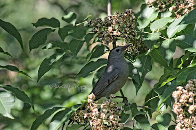 A catbird in a tree in Central Park. View Three.