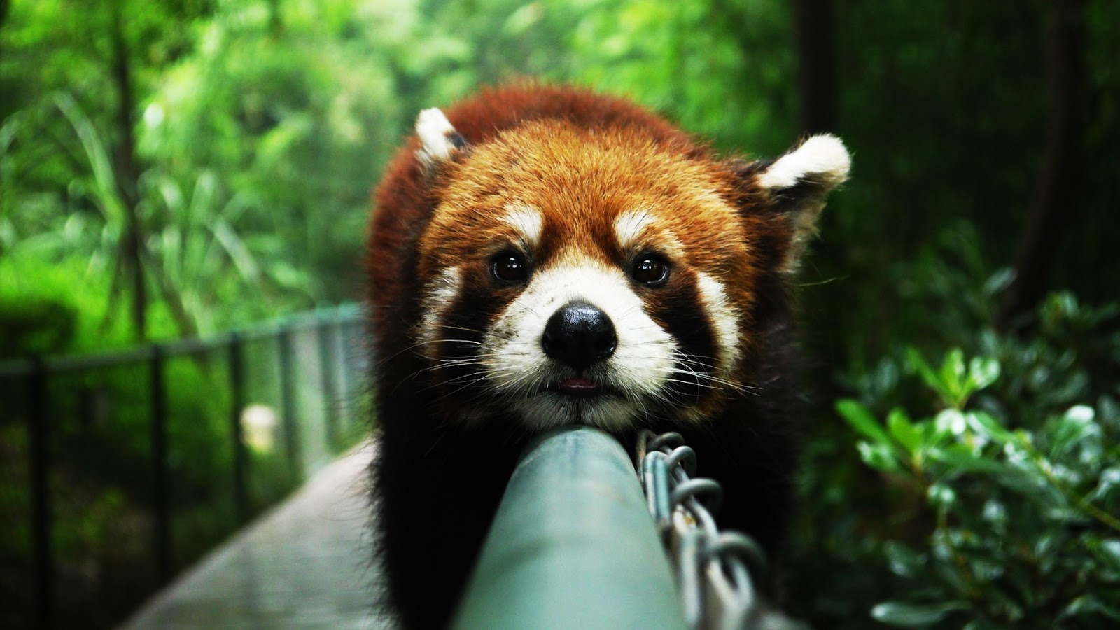 Beautiful Red Panda in the Forest Wallpaper