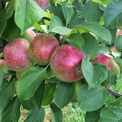 apples ripening Carlson Orchards Harvard MA_New England Fall Events