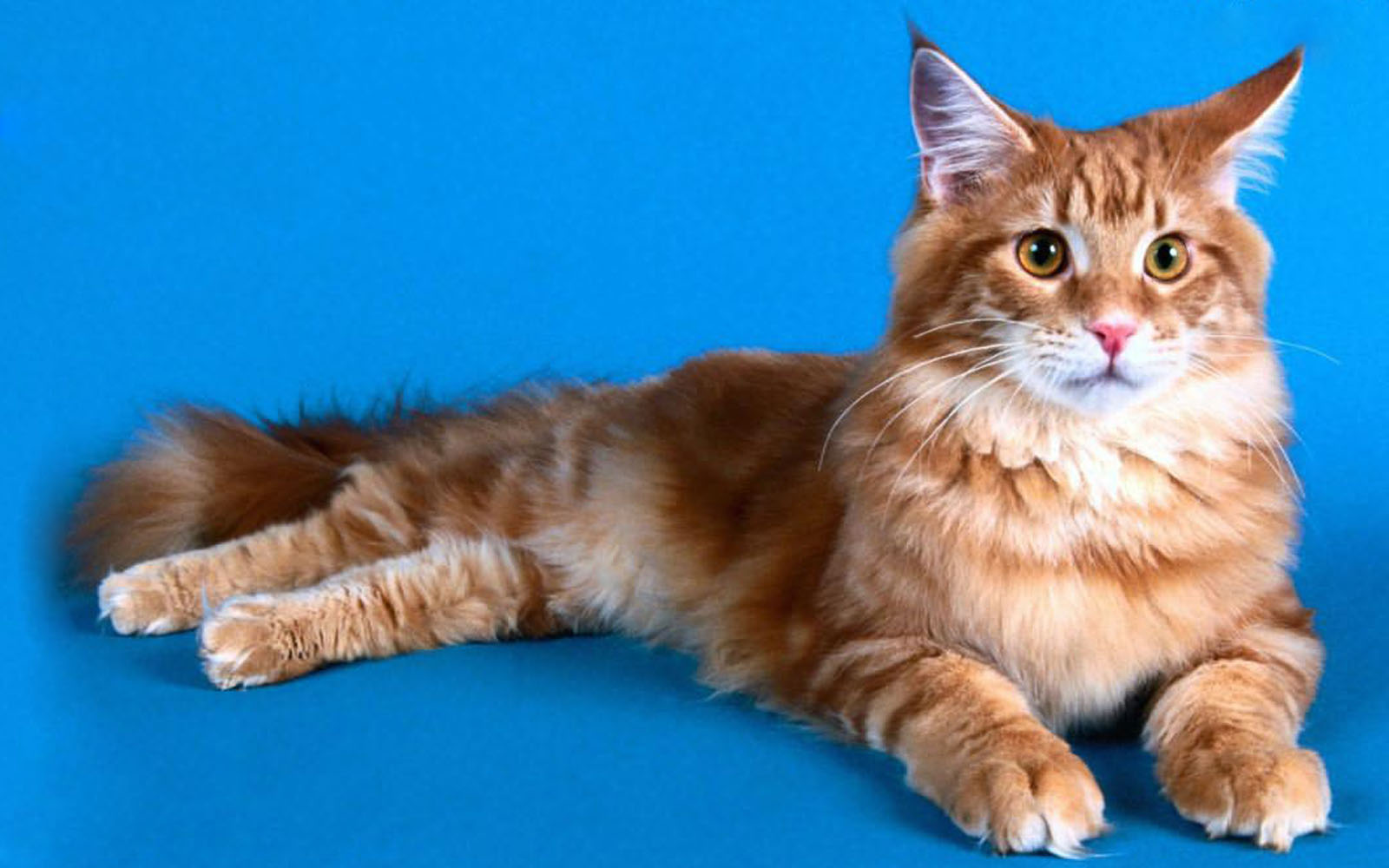 wallpapers: Maine Coon Cat Wallpapers