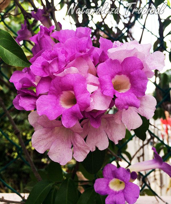 Floración del Ajo Sacha o flor de ajo, Mansoa alliacea