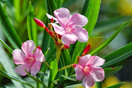 Manfaat Bunga Nerium Oleander (Nerium Indicum Mill)