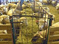 Mengubah Pola Pikir Dalam Beternak Kambing dan Domba ( Bagian 1 )