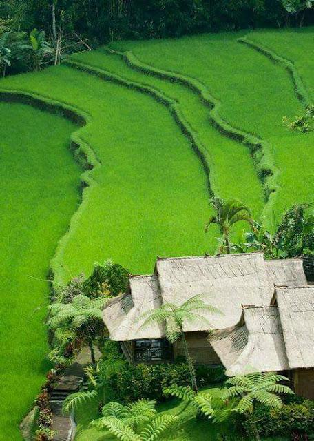 Pemandangan Alam Sawah di Desa Seperti Karpet Hijau Cantik