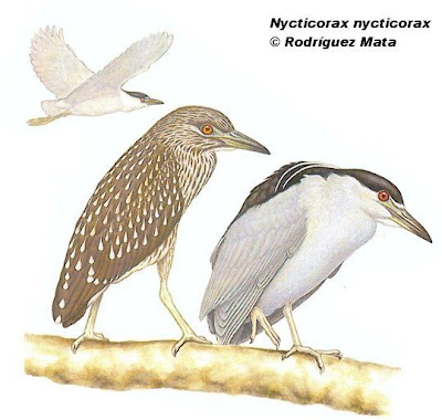 Garza bruja Nycticorax nycticorax