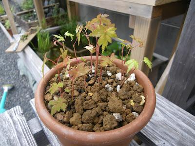 もみじ 寄せ植え 深い鉢