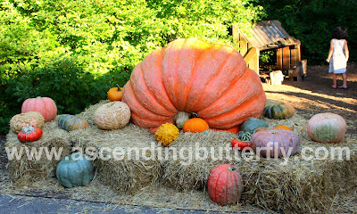 LARGE pumpkin