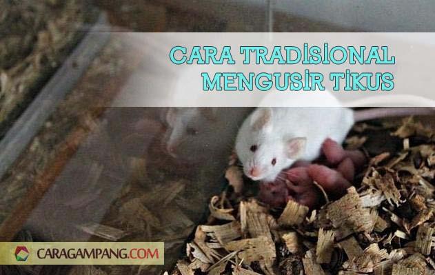 Cara Tradisional Mengusir Tikus
