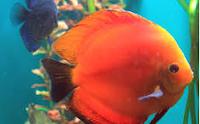 Ikan Hias Air Tawar Termahal Solid Rose