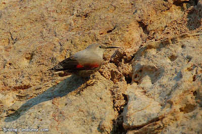 Pela-roques (Trichodroma muraria)