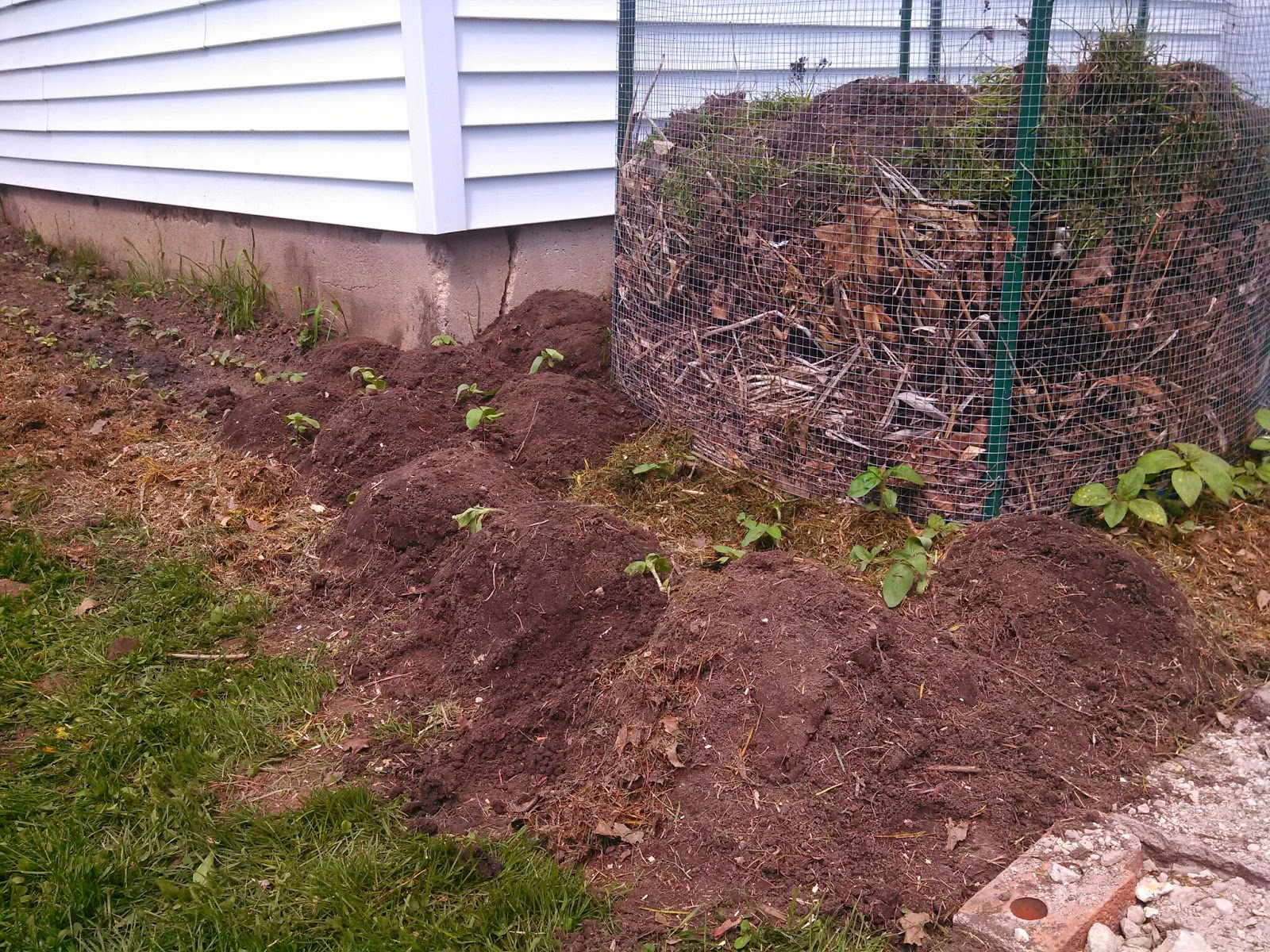 i have a garden full of volunteer sunflowers with no where to put them so i outlined the garage and compost piles then i planted little hills with