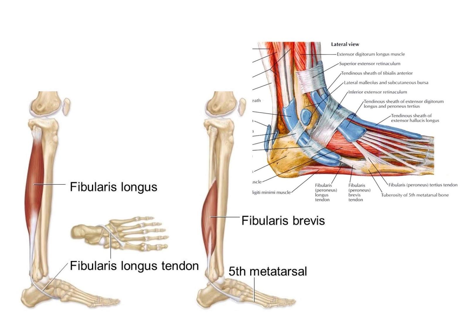 fibularis longus origin - HD1600×1131