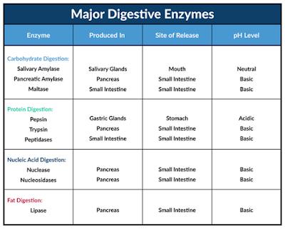 enzim pencernaan letak dan fungsinya