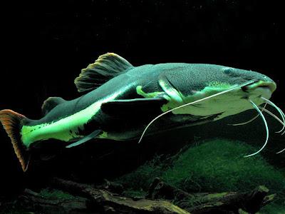 Makanan Redtail Catfish