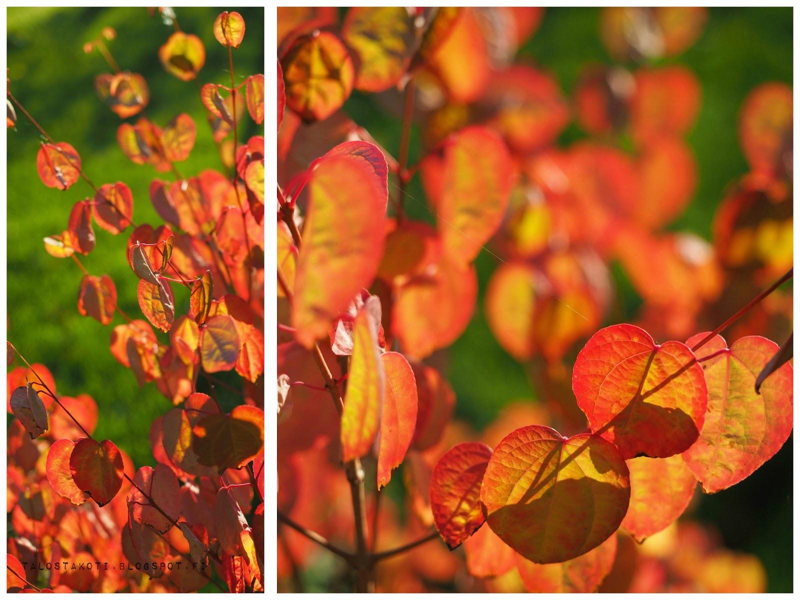 Katsura, puutarha, ruska, värikäs