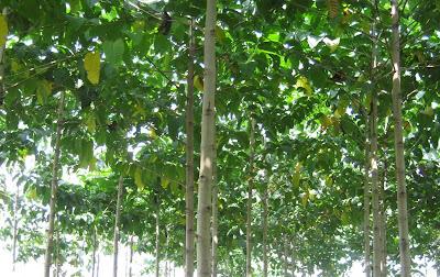 Bisnis pohon Jabon