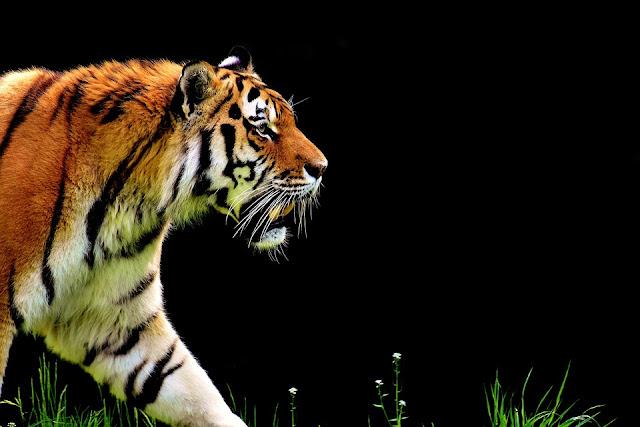 Fakta Menarik Tentang Harimau