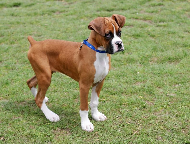 Boxer Puppy Pictures and InformationCorgi Puppy Pictures
