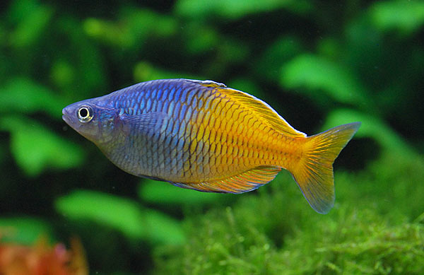 Joe 39 s aquaworld for exotic fishes mumbai india 9833898901 for Rainbow fish care