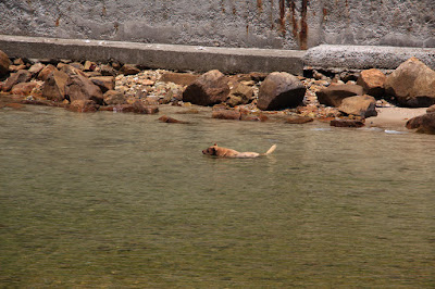 Dog swimming, Yau Ley Fishing Village, Sai Kun Country Park, Hong Kong