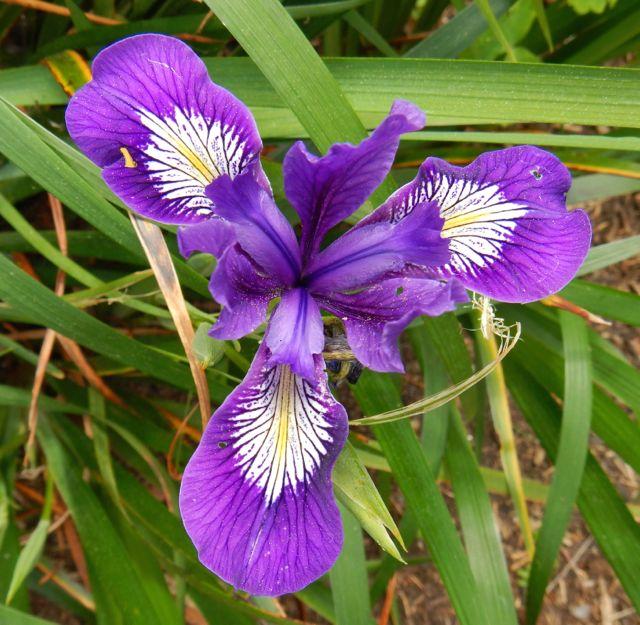 World Of Irises: Purple Pacific Iris