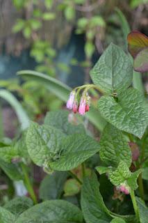 symphytum hidcote pink