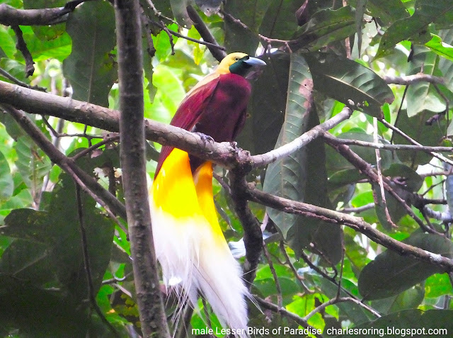 Birdwatching in the forest of Indonesia