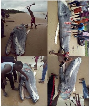 See Photos Of Baby Whale Killed By Villagers in Delta State