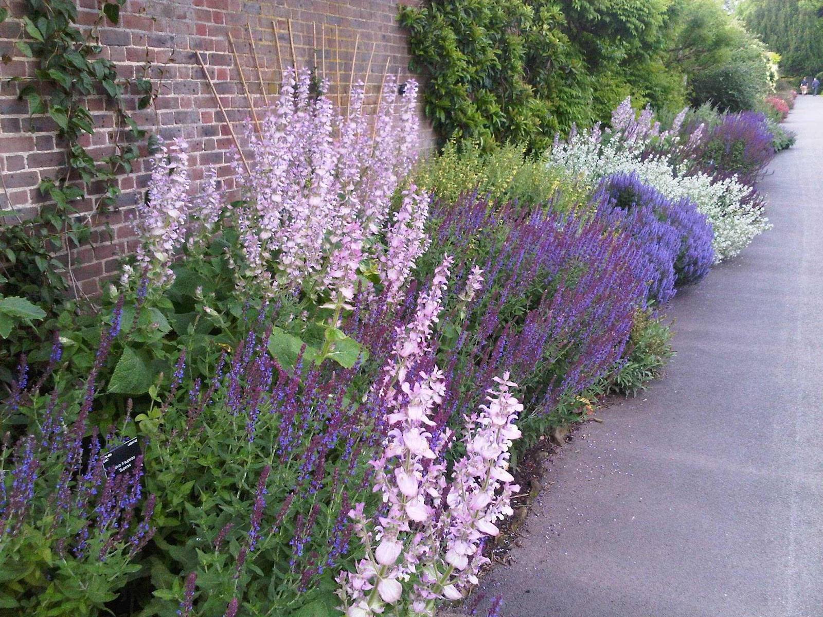 Salvia Plants: Growing & Caring for Ornamental Sages ... |Salvia Plants
