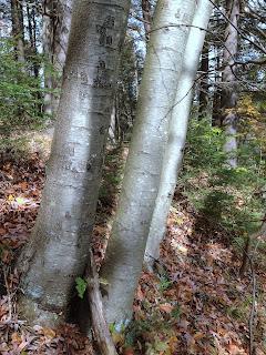 Smooth Bark of Young Black Birch (Betula lenta)