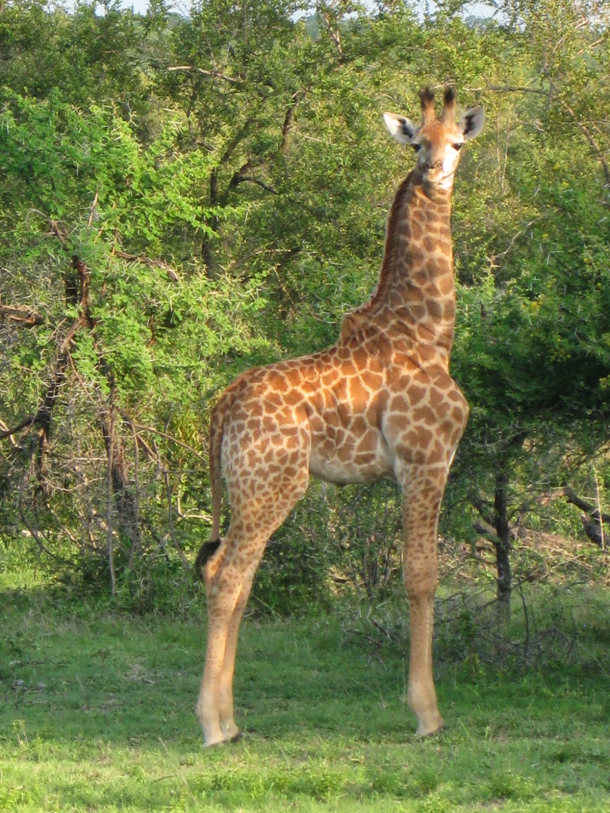 Sabi Sands - Afternoon game drive day 2: Baby giraffe spotted!