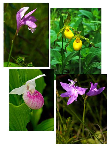 orchids fen bog calopogon arethrusa cypripedium