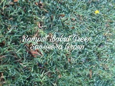 Rumput Babat Green