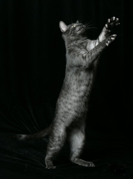 a smoke Egyptian Mau cat leaping playfully against a black background