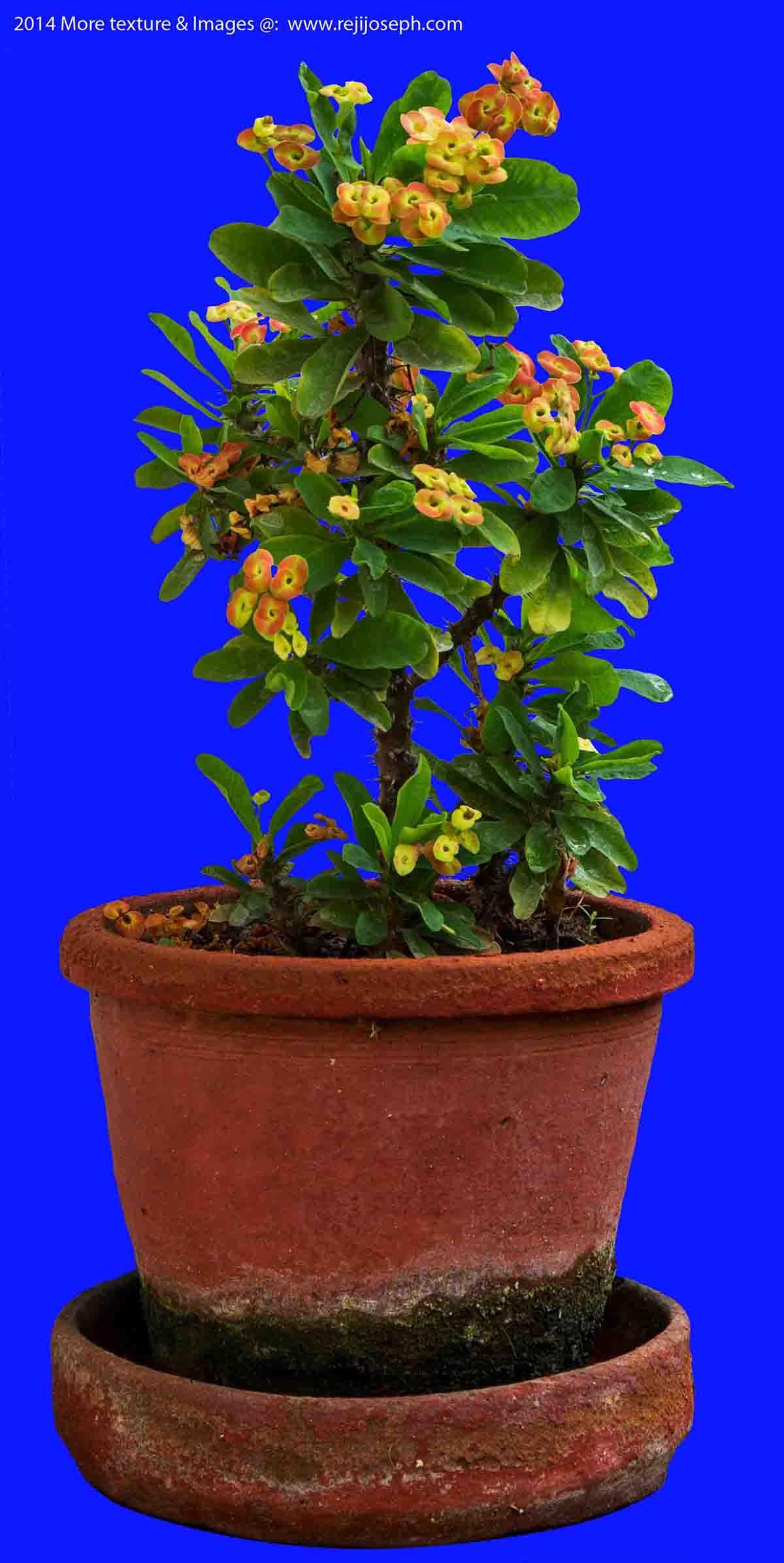 Euphorbia Milii garden plant 00001