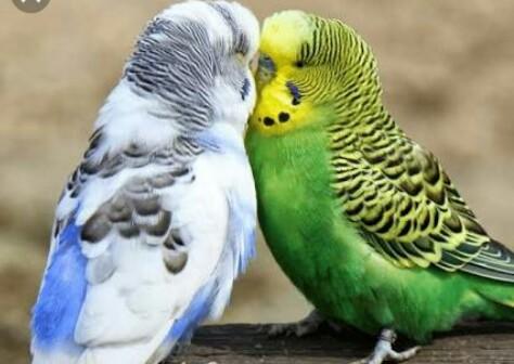 Cara Jitu Memilih Burung Parkit yang Bagus Sebagai  Masteran