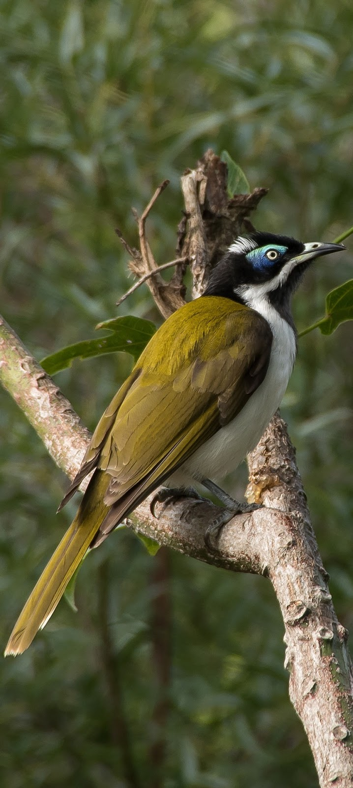 Picture of a blue faced honeyeater.